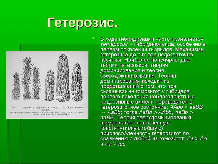 Гетерозис. В ходе гибридизации часто проявляется гетерозис – гибридная сила, ...