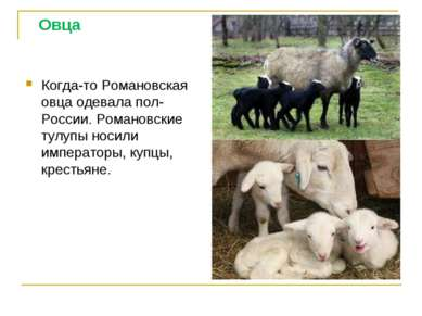 Овца Когда-то Романовская овца одевала пол- России. Романовские тулупы носили...