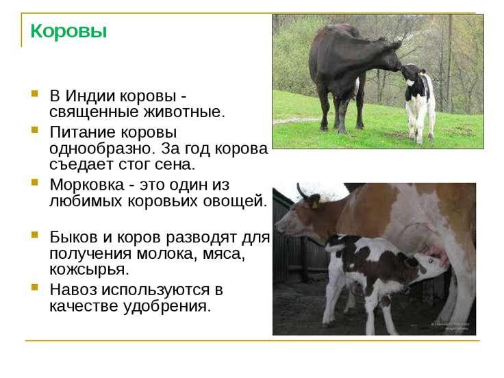 Коровы В Индии коровы - священные животные. Питание коровы однообразно. За го...