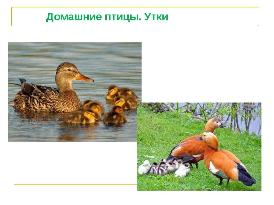 Домашние птицы. Утки