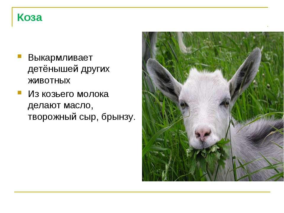 Коза Выкармливает детёнышей других животных Из козьего молока делают масло, т...
