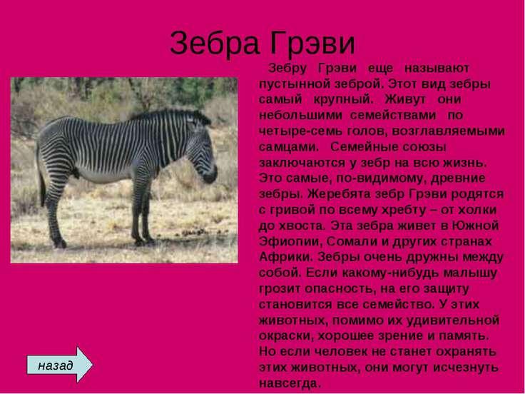 Зебра Грэви Зебру Грэви еще называют пустынной зеброй. Этот вид зебры самый к...