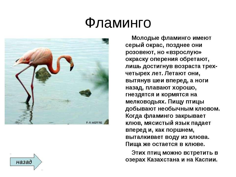Фламинго Молодые фламинго имеют серый окрас, позднее они розовеют, но «взросл...