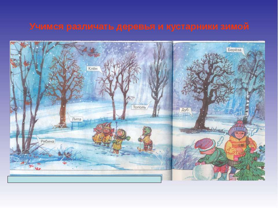 Учимся различать деревья и кустарники зимой