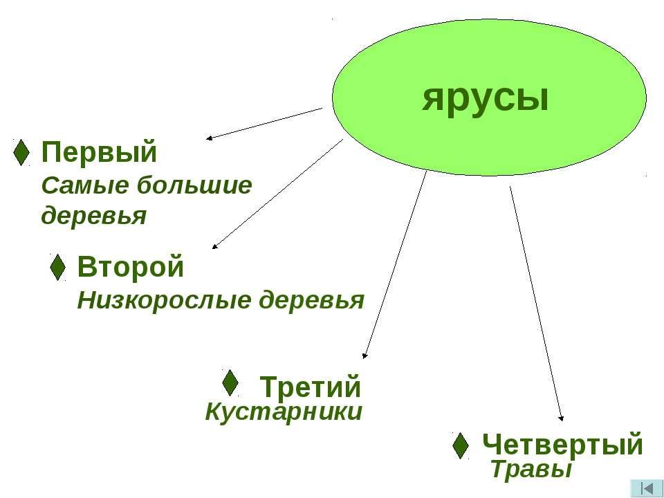 ярусы Первый Самые большие деревья Второй Низкорослые деревья Третий Кустарни...