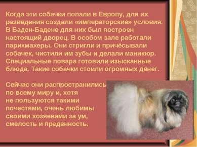 Когда эти собачки попали в Европу, для их разведения создали «императорские» ...