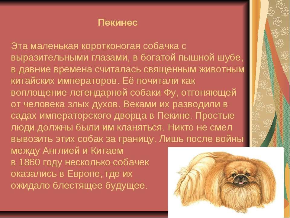 Пекинес Эта маленькая коротконогая собачка с выразительными глазами, в богато...