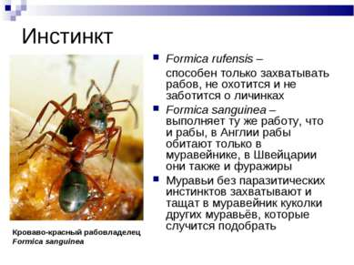 Инстинкт Formica rufensis – способен только захватывать рабов, не охотится и ...
