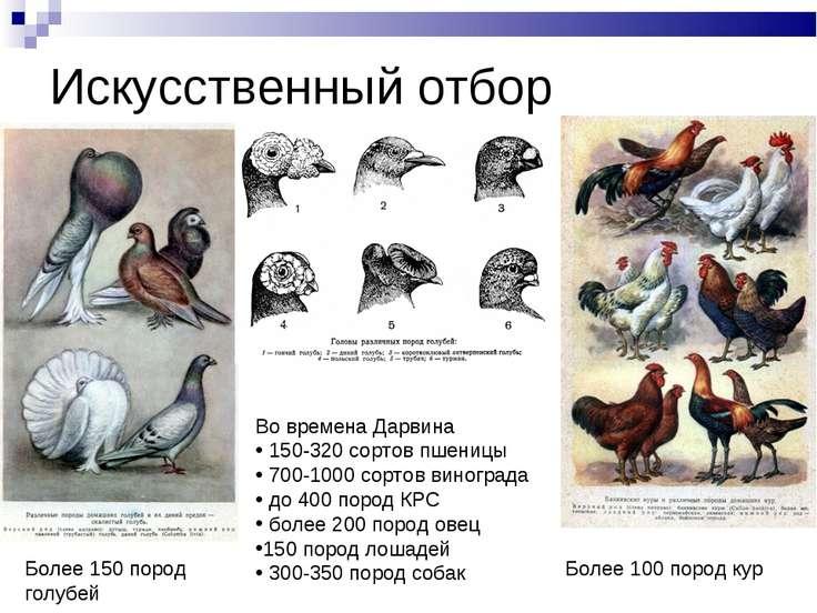 Искусственный отбор Во времена Дарвина 150-320 сортов пшеницы 700-1000 сортов...