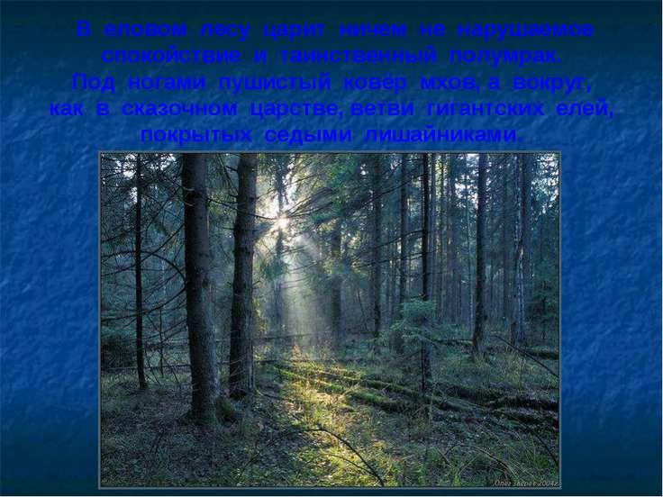 В еловом лесу царит ничем не нарушаемое спокойствие и таинственный полумрак. ...