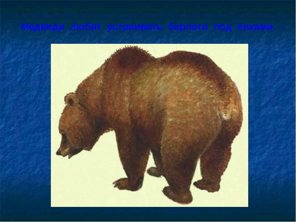 Медведи любят устраивать берлоги под ёлками.