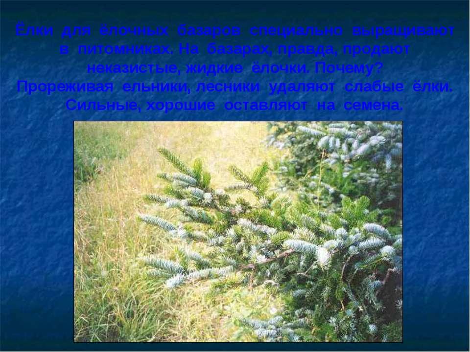 Ёлки для ёлочных базаров специально выращивают в питомниках. На базарах, прав...