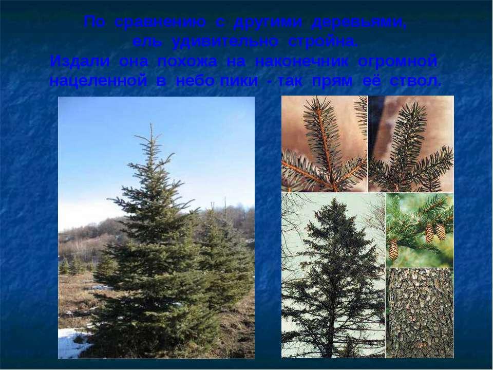 По сравнению с другими деревьями, ель удивительно стройна. Издали она похожа ...