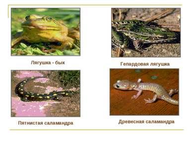 Лягушка - бык Гепардовая лягушка Пятнистая саламандра Древесная саламандра