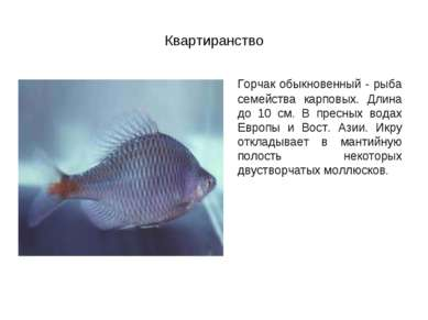 Квартиранство Горчак обыкновенный - рыба семейства карповых. Длина до 10 см. ...