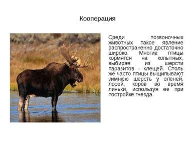 Кооперация Среди позвоночных животных такое явление распространенно достаточн...