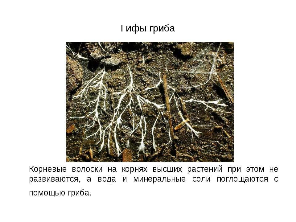 Гифы гриба Корневые волоски на корнях высших растений при этом не развиваются...