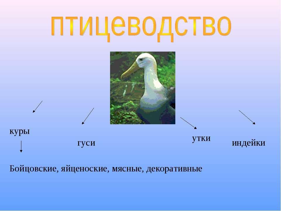 куры гуси утки индейки Бойцовские, яйценоские, мясные, декоративные