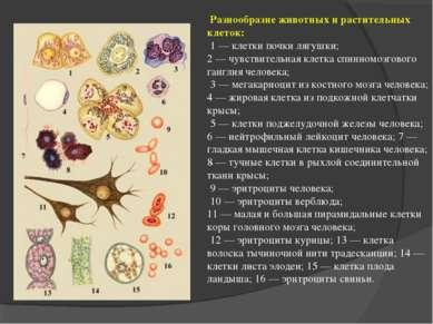 Разнообразие животных и растительных клеток: 1 — клетки почки лягушки; 2 — чу...