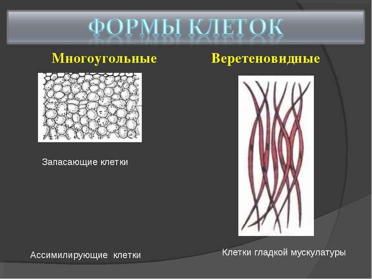 Многоугольные Веретеновидные Запасающие клетки Ассимилирующие клетки Клетки г...