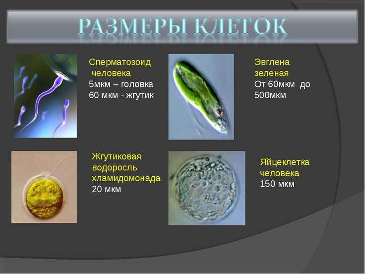 Сперматозоид человека 5мкм – головка 60 мкм - жгутик Жгутиковая водоросль хла...