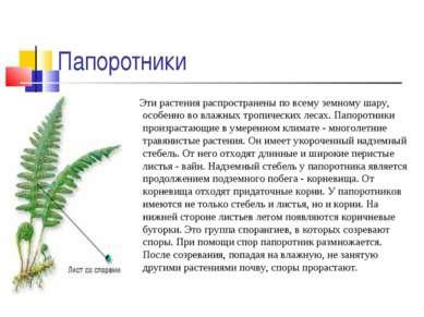 Папоротники Эти растения распространены по всему земному шару, особенно во вл...