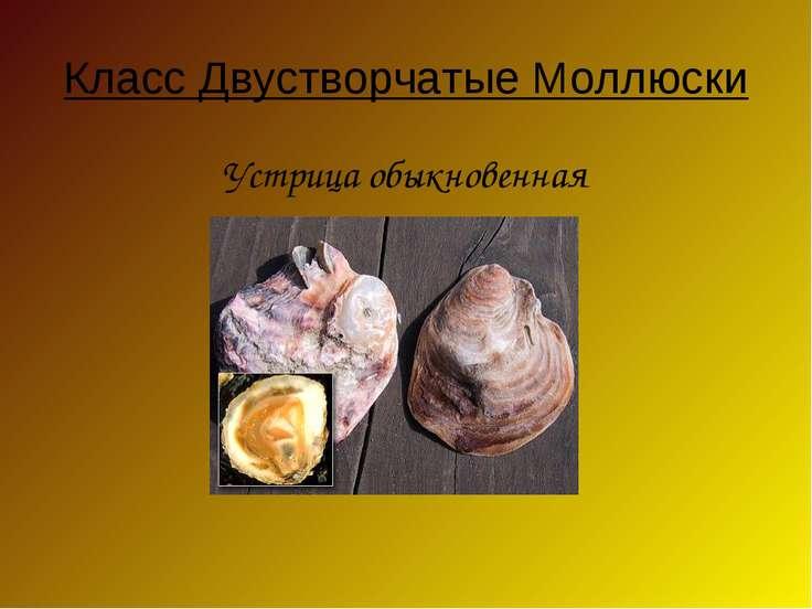 Класс Двустворчатые Моллюски Устрица обыкновенная
