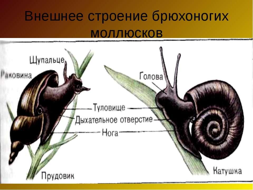 Внешнее строение брюхоногих моллюсков
