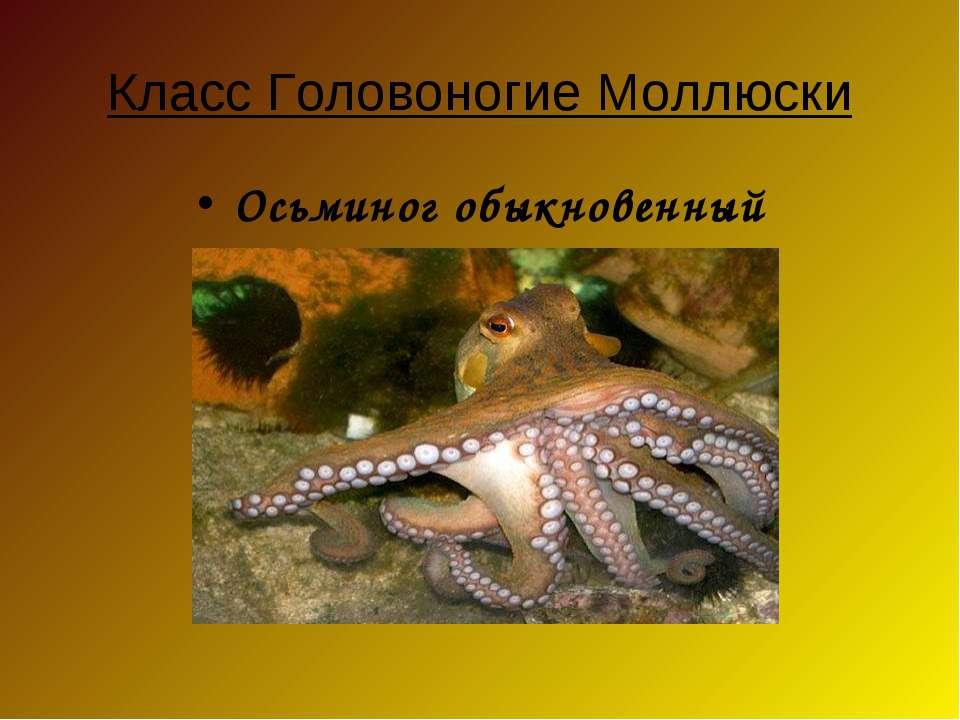 Класс Головоногие Моллюски Осьминог обыкновенный