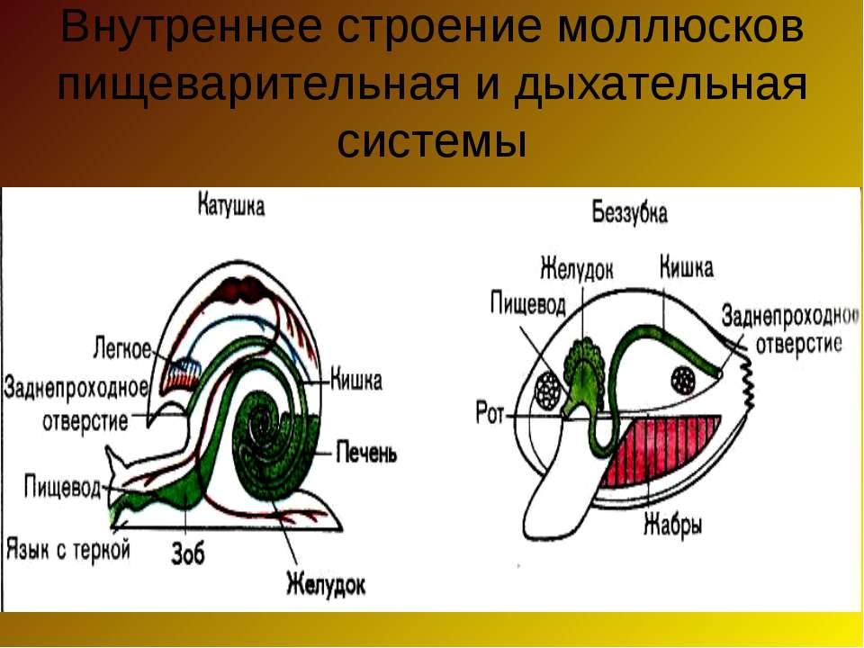 Внутреннее строение моллюсков пищеварительная и дыхательная системы