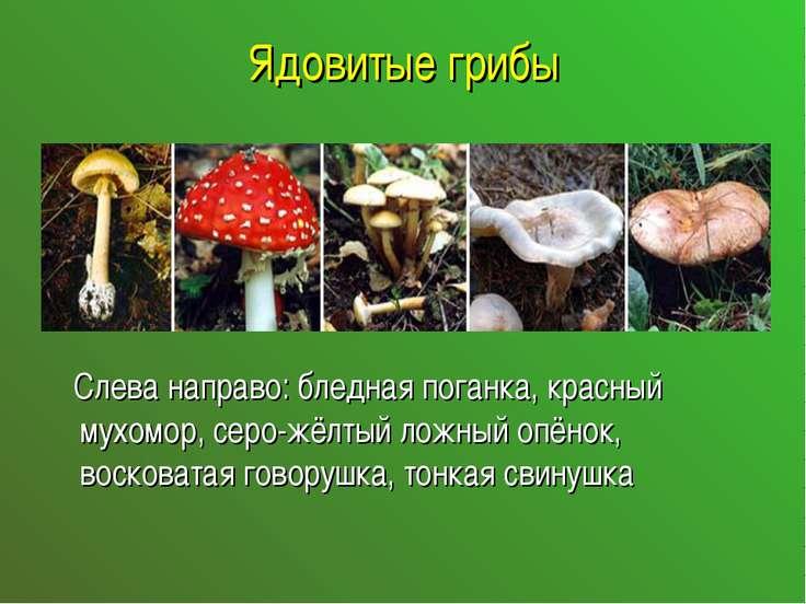 Ядовитые грибы Слева направо: бледная поганка, красный мухомор, серо-жёлтый л...