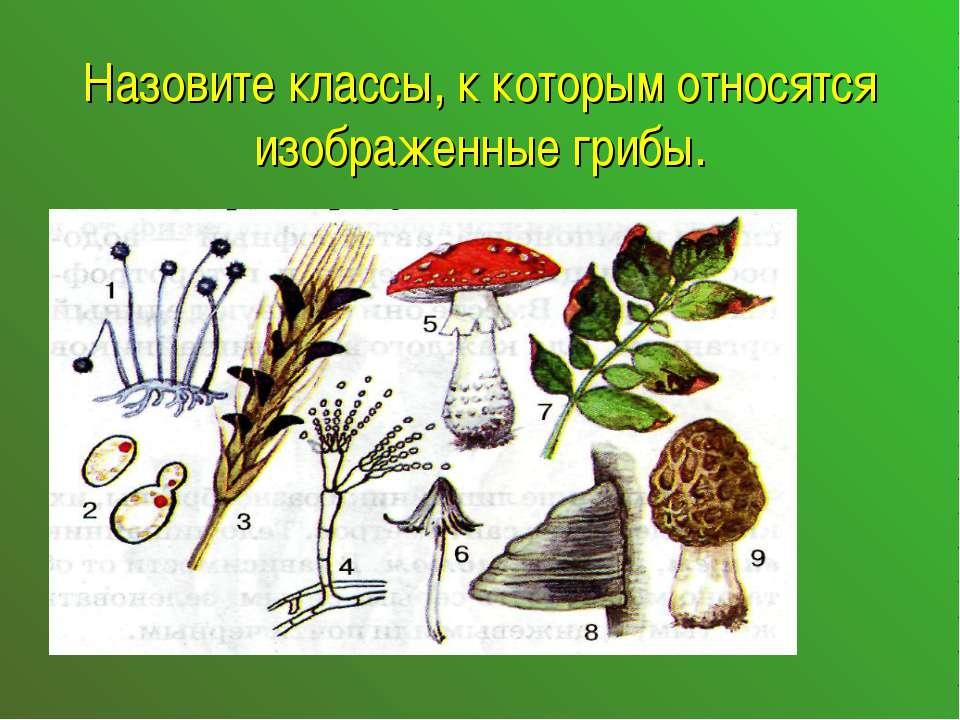 Назовите классы, к которым относятся изображенные грибы.