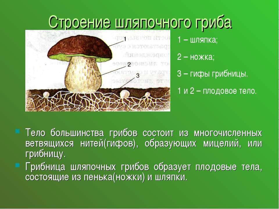 Строение шляпочного гриба Тело большинства грибов состоит из многочисленных в...