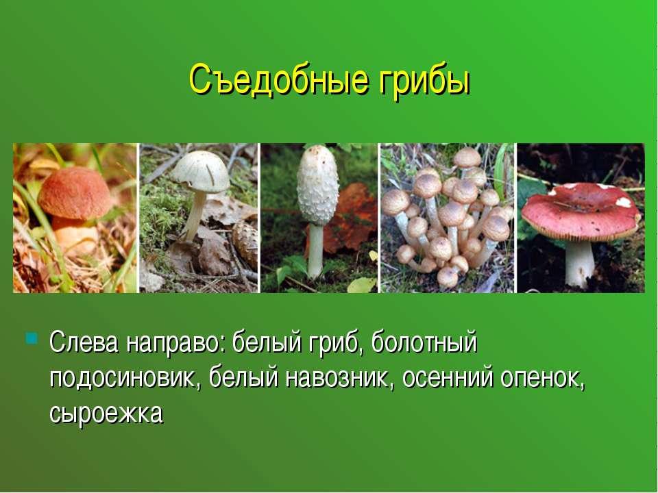Съедобные грибы Слева направо: белый гриб, болотный подосиновик, белый навозн...