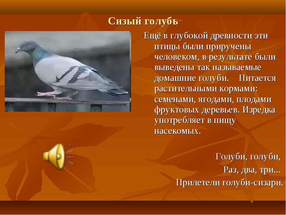 Сизый голубь Ещё в глубокой древности эти птицы были приручены человеком, в р...