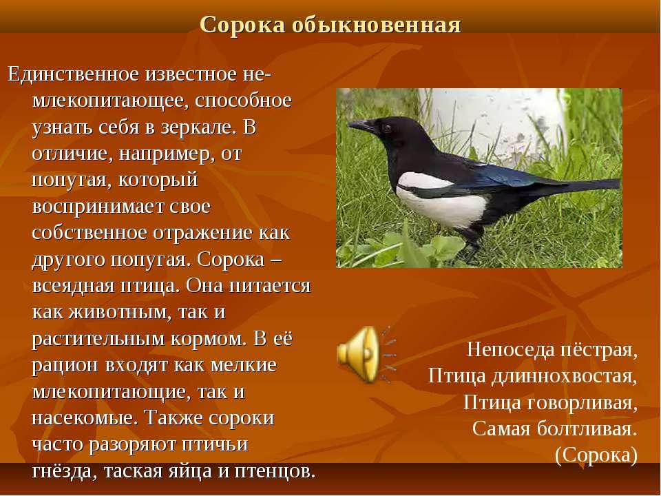 Сорока обыкновенная Единственное известное не-млекопитающее, способное узнать...