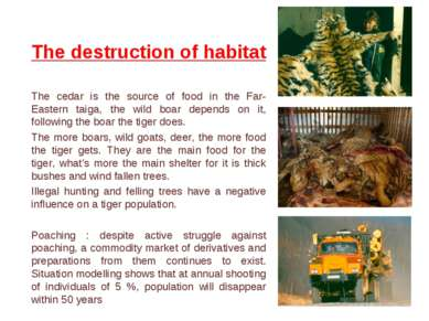 The destruction of habitat The cedar is the source of food in the Far-Eastern...