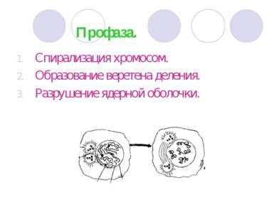 Профаза. Спирализация хромосом. Образование веретена деления. Разрушение ядер...
