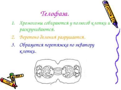 Телофаза. Хромосомы собираются у полюсов клетки и раскручиваются. Веретено де...