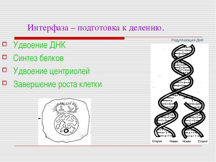 Интерфаза – подготовка к делению. Удвоение ДНК Синтез белков Удвоение центрио...