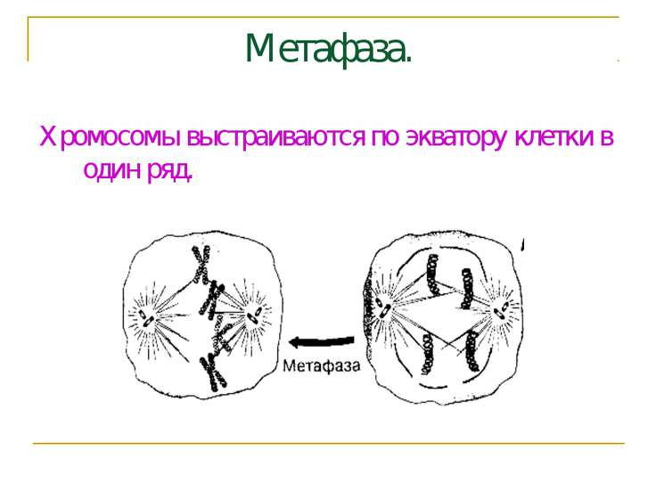 Метафаза. Хромосомы выстраиваются по экватору клетки в один ряд.