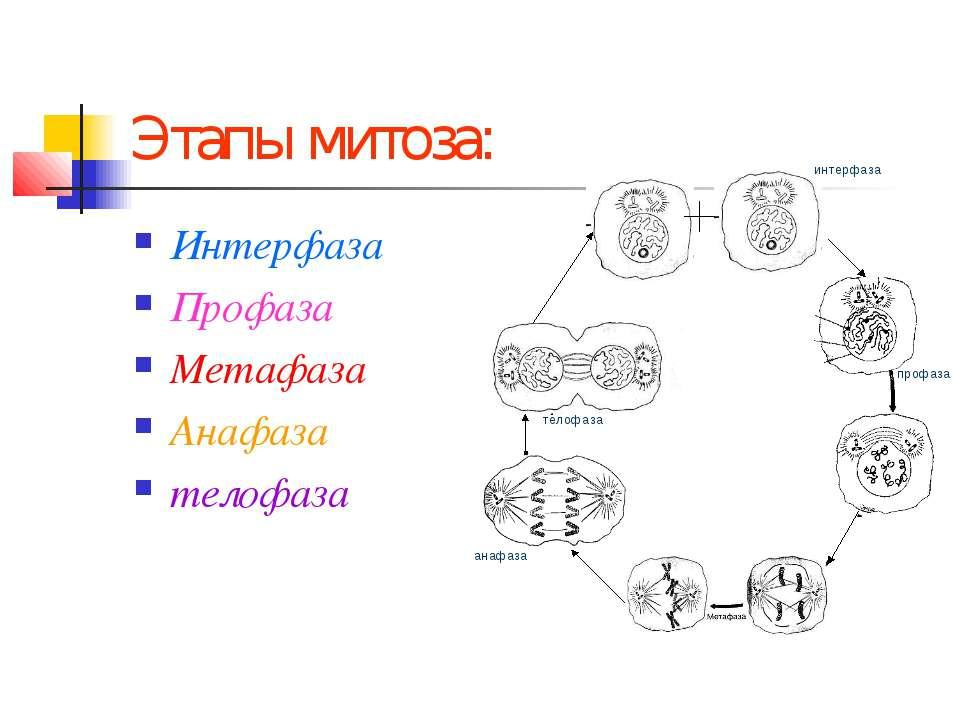 Этапы митоза: Интерфаза Профаза Метафаза Анафаза телофаза профаза анафаза тел...