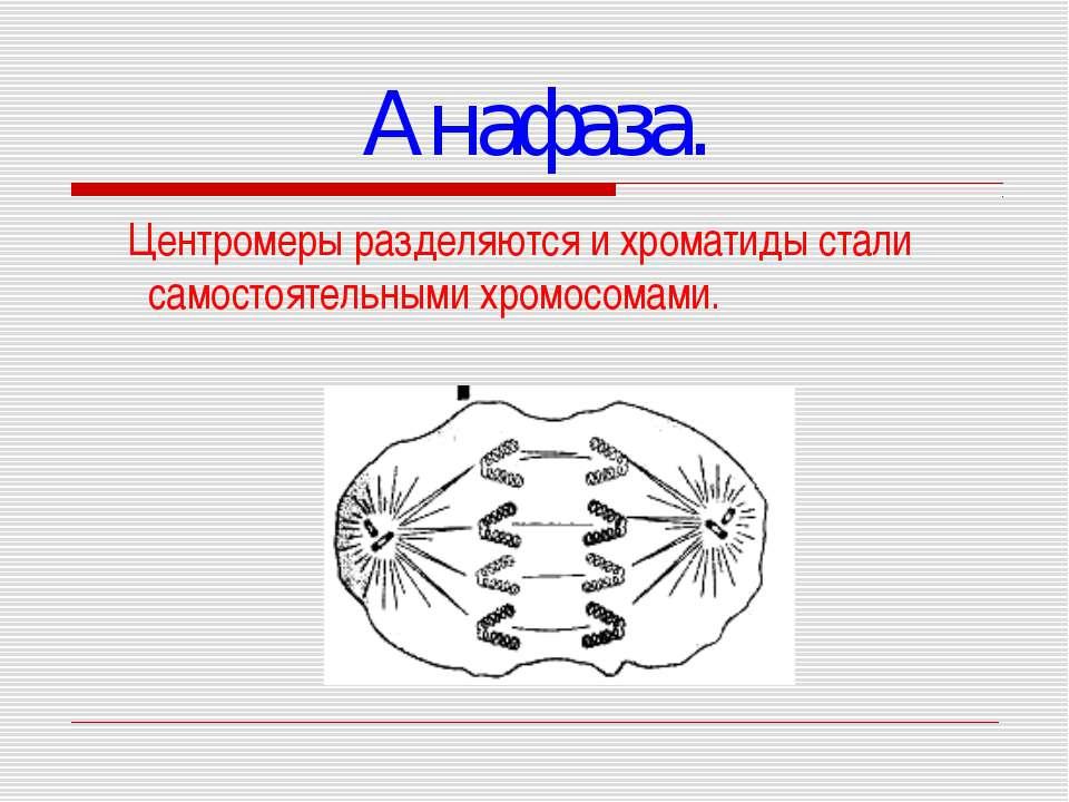 Анафаза. Центромеры разделяются и хроматиды стали самостоятельными хромосомами.