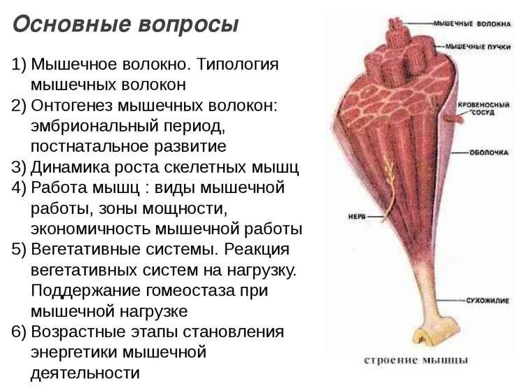 Основные вопросы Мышечное волокно. Типология мышечных волокон Онтогенез мышеч...