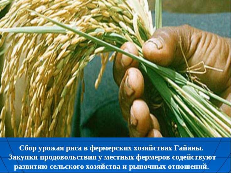 Сбор урожая риса в фермерских хозяйствах Гайаны. Закупки продовольствия у мес...