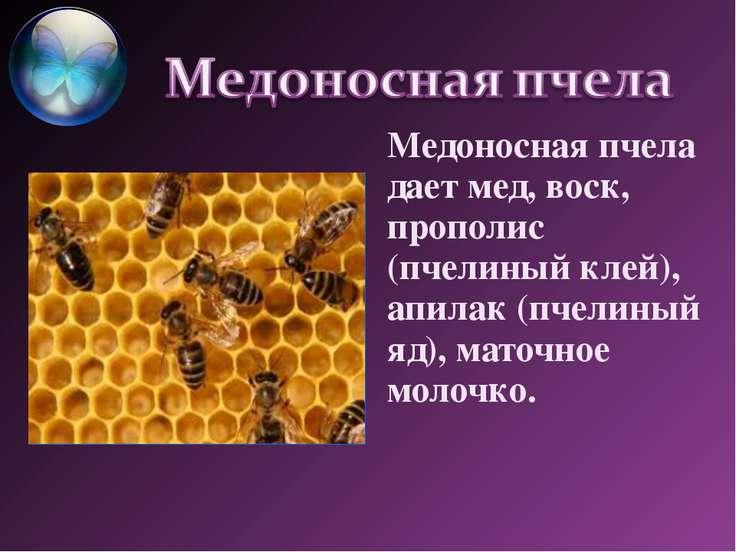 Медоносная пчела дает мед, воск, прополис (пчелиный клей), апилак (пчелиный я...