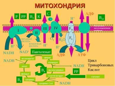 I II III IV C FO H+ H+ H+ H+ АДФ АТФ АДФ О2 Н2О NADH NAD+ ЯНТАРНАЯ КИСЛОТА ФУ...