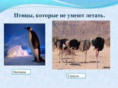 Птицы, которые не умеют летать. Пингвины Страусы