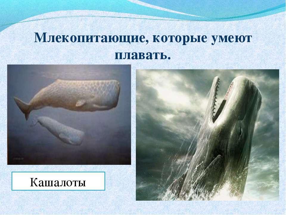 Млекопитающие, которые умеют плавать. Кашалоты