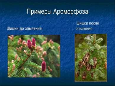 Примеры Ароморфоза Шишки до опыления Шишки после опыления